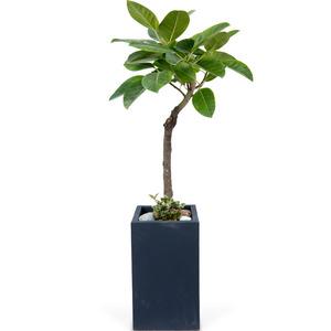 벵갈고무나무(사각분)