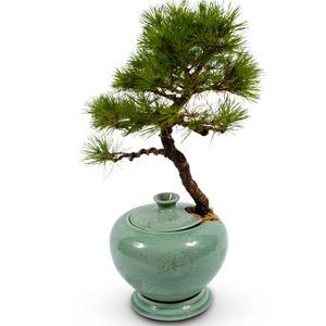 소나무 도자기분재(예약상품)
